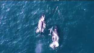 WATCH: Viral video of whales and pod of dolphins swimming near KZN beach is the best thing you'll see today