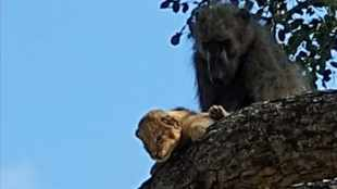 WATCH: Rare Kruger Park encounter as baboon grooms lion cub