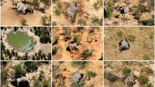 Poisoning not ruled out in death of hundreds of Botswana elephants