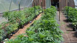 Cultivation of a different kind is now a reality with Africa's first licence to legally deal in medicinal marijuana issued by Lesotho. File picture: David Deardorff/AP