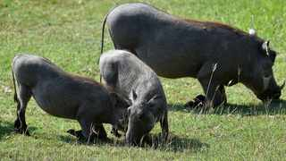 Wild pig with her piglets at the Kruger National Park, Mpumalanga. Based on recent tourist expenditure trends, a possible decline of more than 15% in arrivals this year (because of the Coronavirus) translates into a potential loss of at least R200 million in Chinese tourist spending for South Africa a PwC economist says. Picture: Itumeleng English/ African News Agency(ANA)