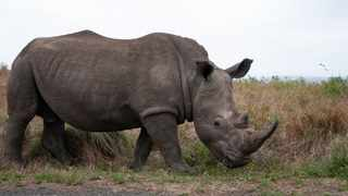The number of critically endangered black rhino in the wild have increased by nearly 800 over a six-year period, the International Union for Conservation of Nature said in a statement. File picture: ANA