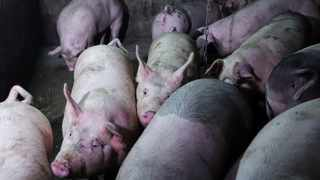 FILE PHOTO: Pigs are seen on the farm of pig farmer Zhang Haitao at a village in Changtu