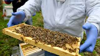 In this Oct. 12, 2018 file photo, a man holds a frame removed from a hive box covered with honey bees in Lansing, Mich. The number of professional beekeepers is declining as many of them are going out of business voluntarily or due to the drought. (Dale G. Young/Detroit News via AP)
