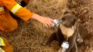 A koala drinks water from a bottle given by a firefighter in Cudlee Creek, South Australia. Thousands of koalas are feared to have died in a wildfire-ravaged area north of Sydney, further diminishing Australia's iconic marsupial. File picture: Oakbank Balhannah CFS via AP