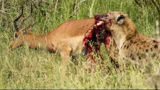 the hyena slowly tears off the meat from the impala's protruding stomach and starts eating, even as it strains it's head and tries to lift himself up and get away. Pic: YouTube