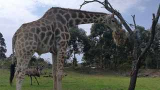Abby the giraffe has warmed many visitors' heart. Picture: Clinton Moodley.