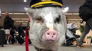 LiLou the therapy pig is warming travellers' hearts one selfie at a time. Picture: Instagram/Reuters.