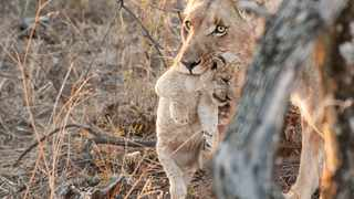 This rare picture captured by the general manager at Samara Private Game Reserve Marnus Osche shows one of the lion cubs.