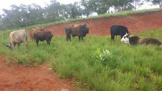 These cattle were part of the nearly 100 stolen livestock that were recovered by the SAPS during the festive season. Picture / Supplied / SAPS