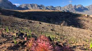 First flowers have started to appear across the scorched landscape two months after the fire. Picture: Supplied.