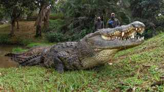 Witness Henry the Nile Crocodile and other reptiles on Crocworld's virtual feed. Picture: Supplied.