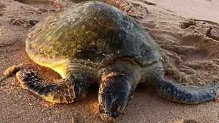 A sub adult green turtle, which was rescued from a local beach, has died.  Picture: Saambr