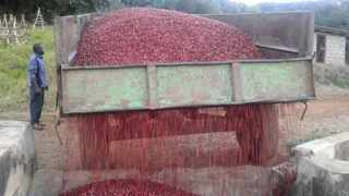 Freshly harvested coffee cherries on Crake Valley Farm, Zimbabwe. Credit: Crake Valley Farm, Boswell Brown
