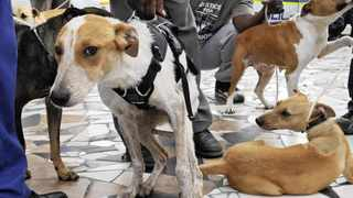 Cape Town 21-11-11- Warrior the dog who was buried alive get support from other dogs , at Khayelitsha court where the janitor who buried him was to appear  Picture Brenton Geach