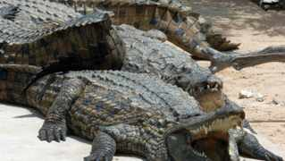 Nile crocodiles, some of the 700 crocodiles in the Djerba Explore park, bask in the sun 06 May 2007. The park was opened in 2002 with crocodiles from a farm in Madagascar. AFP PHOTO/FETHI BELAID