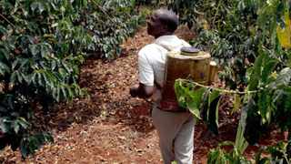 A coffee plantation is being sprayed by a farmer in Mukuruweini, Nyeri, 120 km (75 miles) northwest of the Kenyan capital Nairobi, February 23, 2006. The bushes are vulnerable because many farmers cannot afford to buy expensive fertilisers, pesticides, herbicides and insecticides to develop their crops.  Picture taken on February 23, 2006. To match feature Food Kenya Coffee. REUTERS/Thomas Mukoya