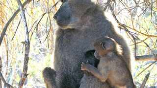 Peter the Baboon in a tree - He is due to be put down