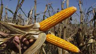 The International Grains Council expects South Africa's maize production to decline by 14percent to 10.7million tons for the 2018/19 season. Photo: Reuters