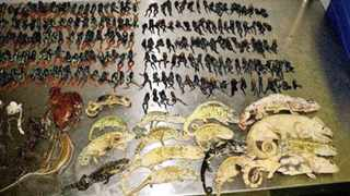 Some of the dead frogs and lizards from 1 600 found during an inspection at OR Tambo International Airports cargo-holding facilities. The smell from the dead and dying animals alerted people to the consignment, bound for the US from Madagascar.   Picture: MIONA JANEKE