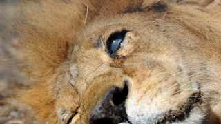 The lion Joseph only has approximately 30% sight in one eye. He is one of the 33 lions that were recently rescued by Animal Defender International and Emoya Big Cat Sanctuary where he finds his new home.240516.Picture: Chris Collingridge144