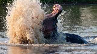 DRASTIC STEPS: The Kruger National Park has begun culling hippos because the drought has caused food shortage for park animals.Picture: Jochen van de Perre