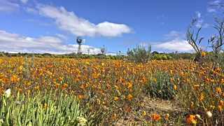 From August to October, Namaqualand hosts one of natures most spectacular flower shows.