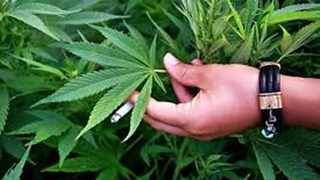 The Cannabis Development Council of South Africa (CDCSA) said on Tuesday that it had set up branches in all provinces to ensure all who traded in cannabis paid their taxes and also paid a tax called the IKS tax which will be used to develop indigenous communities. Photo: file.