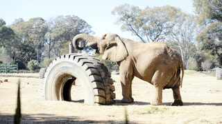 Lammie entertains herself in her enclosure at the Joburg Zoo. Picture: Bhekikhaya Mabaso/African News Agency (ANA)