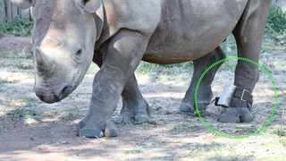 A rhino is fitted with a tool to help conservationists monitor and track it.     Supplied