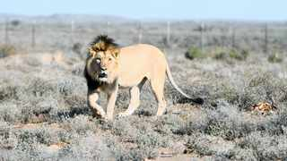 Sylvester the lion strutting around in the bomas after he was found and recaptured following a three-week search at the Karoo National Park in the Western Cape. Picture: Oupa Mokoena