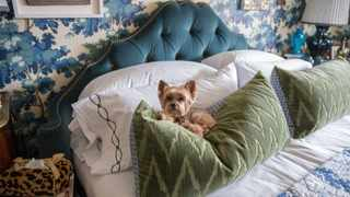 """Teddy, designer Alex Papachristidis's Yorkie, is featured in Susanna Salk's book """"At Home With Dogs and Their Designers."""" Picture: Stacey Bewkes handout photo"""
