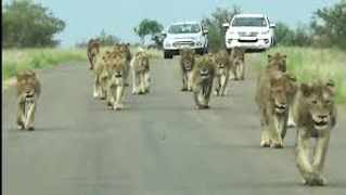 An entire pride of lions took to the road in Kruger National Park for a morning stroll. Pic: LatestSightings.com
