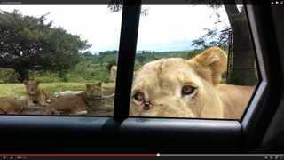WATCH: When a lion wants to get into your car