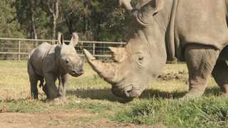 A male White Rhino calf stands up next to his mother at Taronga Western Plains Zoo in Dubbo.