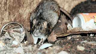 The municipality is devising strategies to combat the increasing rodent infestation in Cape Town. Picture: Chris Collingridge/