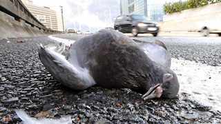 Motorists travelling past the Cape Town International Convention Centre on the Western Boulevard were greeted by a grisly sight: scores of dead pigeons littering the roadside of the elevated freeway. Photo: Henk Kruger