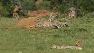 The sub-adult cheetah family at Welgevonden game reserve. Picture: Welgevonden