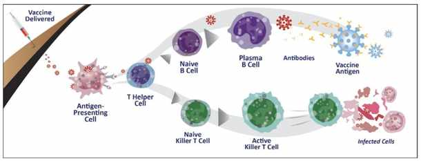 How the Shantivax vaccine works with the development of antibodies and T-cells. Figure by Genlab.