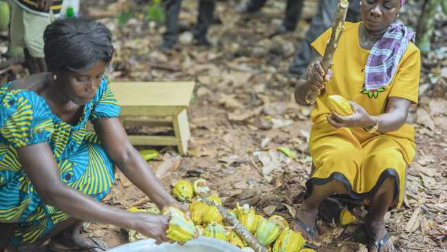 Cocoa farmers extract the bean from the plant.
