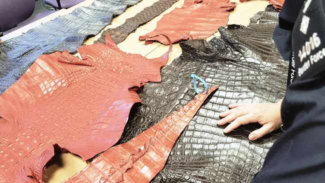 Tanned 'Crocodylus niloticus' skins seized by Border Force in England in this photo provided by Interpol last year. The World Customs Organization and Interpol said they conducted 1828 seizures across 109 countries in June 2019 and seized nearly 10000 live turtles and tortoises, 23 live apes, 30 live big cats, hundreds of pieces of elephant tusk, half a ton of ivory and five rhino horns.     Interpol via AP